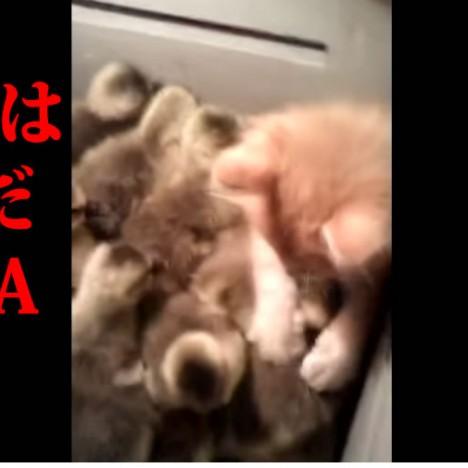The Kitten   The Ducklings   Нападение Хищника   YouTube