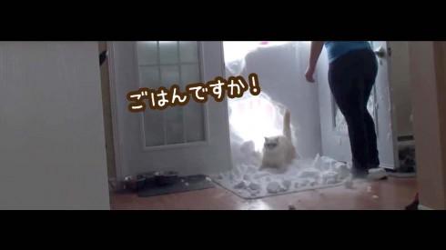 マシュマロ猫「ご飯よ〜!」の呼び声に雪の壁を破壊して無事帰宅