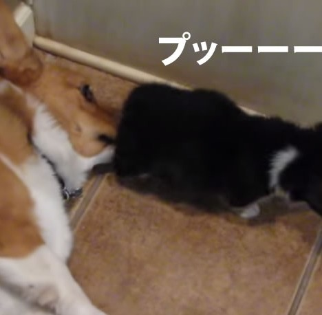 Corgi reacts to puppy butt  ORIGINAL    YouTube