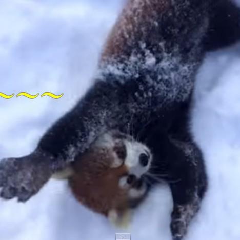 Red Pandas are Having Snow Much Fun   Cincinnati Zoo   YouTube