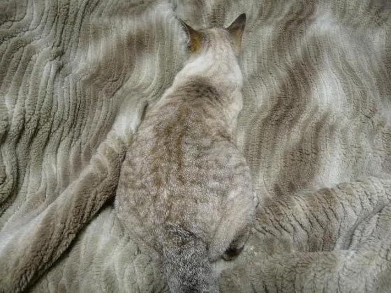 猫はかくれんぼの達人! 猫の模様はちゃんと意味があります。09