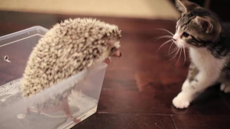 05-子ネコさんとハリネズミ。まだちょっとお互いが怖いけど友だちになれるかな?
