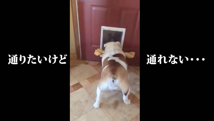 Bulldog trying to get her extra large bone through the doggy door   YouTube