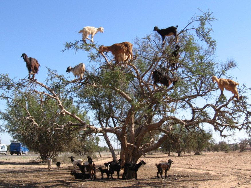 the-world_s-top-10-best-images-of-climbing-goats-1
