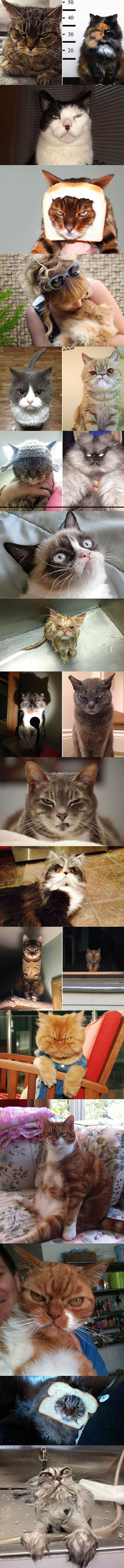 funny-mean-cats-look-evil-angry-looking
