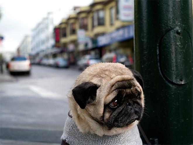 sad-pug18