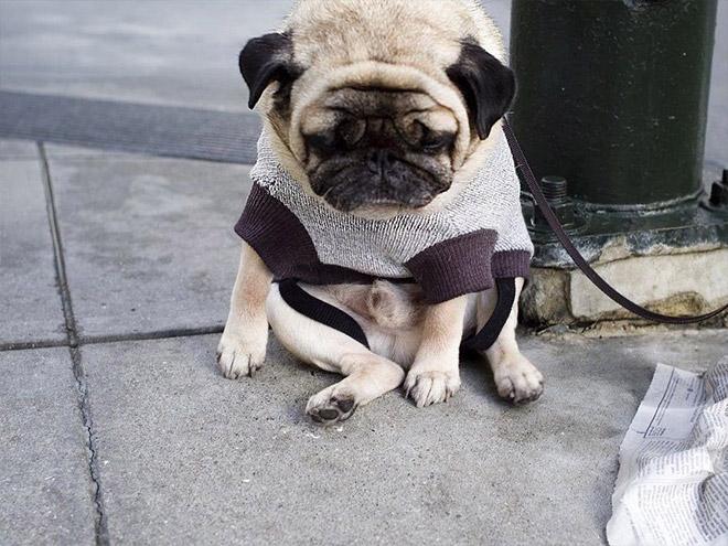sad-pug3