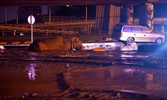 flooding_causes_zoo_animals_flee_the_tbilisi_zoo_09