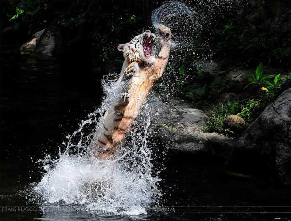 tiger-photos-11