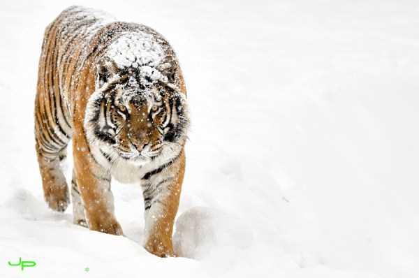 tiger-photos-12