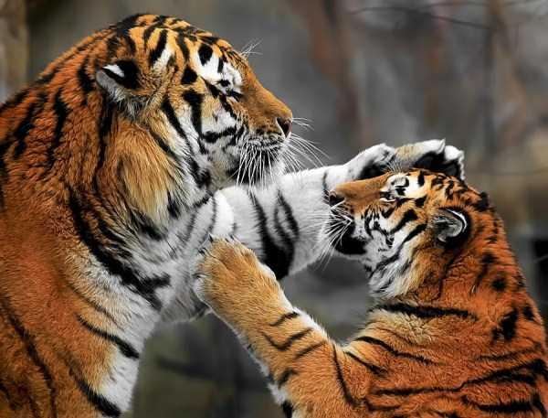 tiger-photos-20