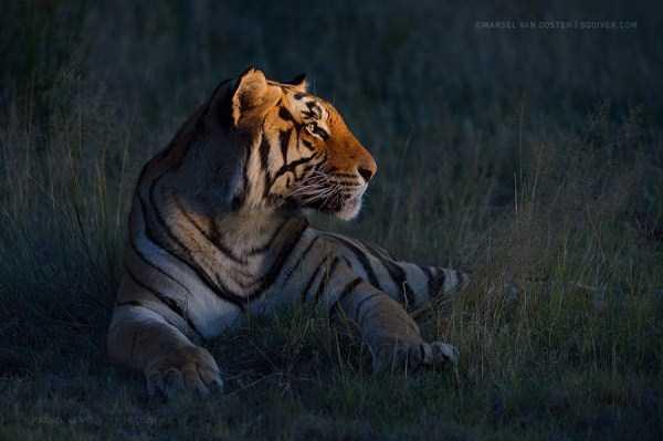 tiger-photos-23