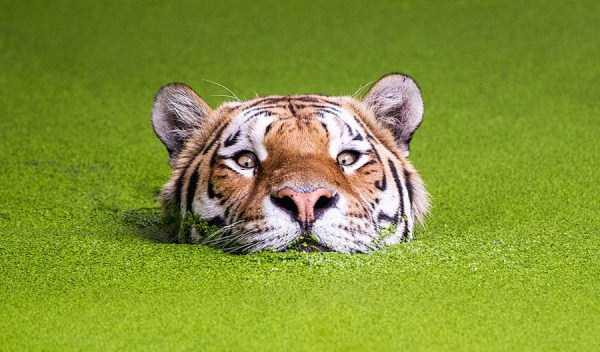 tiger-photos-25