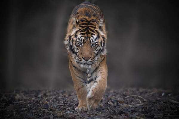 tiger-photos-4