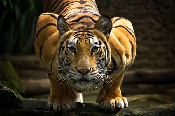 tiger-photos-5