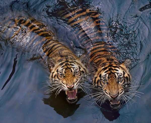 tiger-photos-8