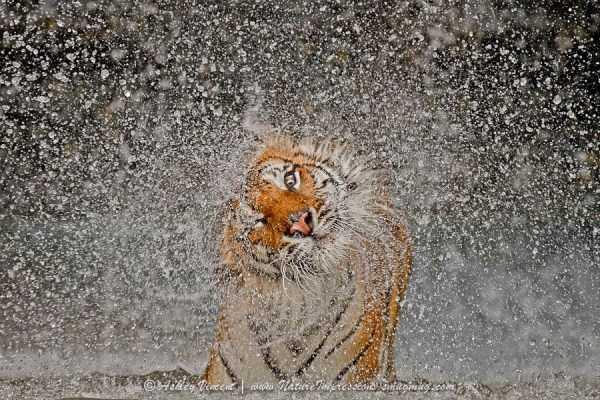 tiger-photos-9