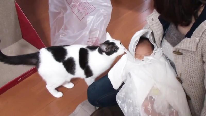 赤ちゃんとの初めての出会い。ネコの反応は?02