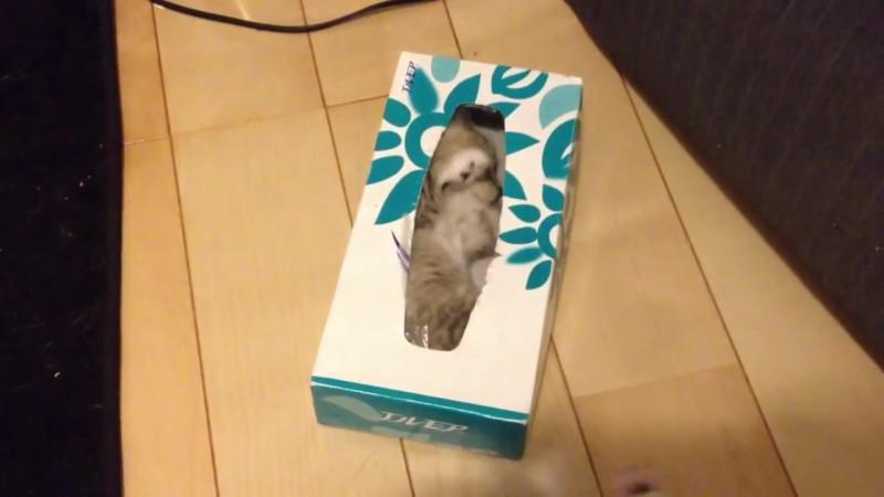 ティッシュ箱の中に入りたい〜。なかなか入れない仔猫、その理由とは?02