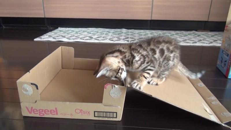 01-思わず笑顔に!段ボール箱で遊んでいた子ネコさんに起きたかわいいハプニング!