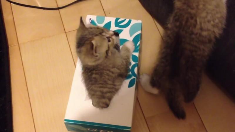 ティッシュ箱の中に入りたい〜。なかなか入れない仔猫、その理由とは?04