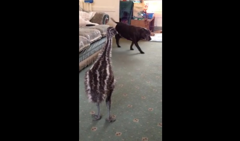 Watch This Baby Emu And Puppy Play Together