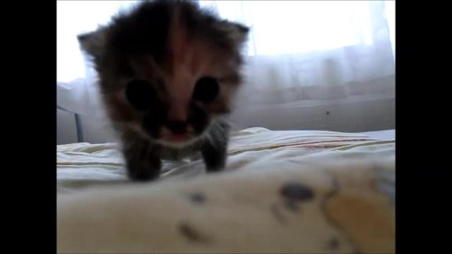 02-よちよち歩きの仔猫の成長記録。だんだん歩くのが上手になってる(#゚ロ゚#)