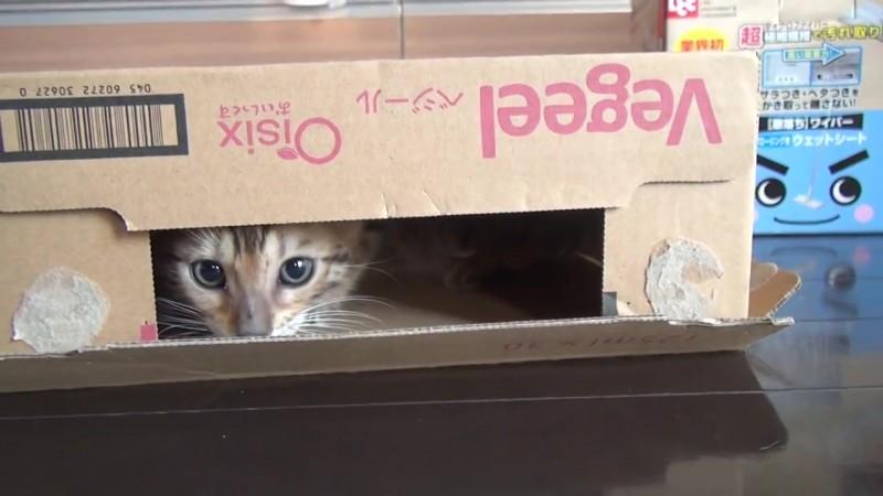 04-思わず笑顔に!段ボール箱で遊んでいた仔猫に起きたかわいいハプニング!