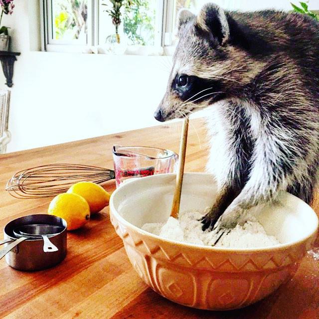 rescued-raccoon-pumpkin-laura-young-36