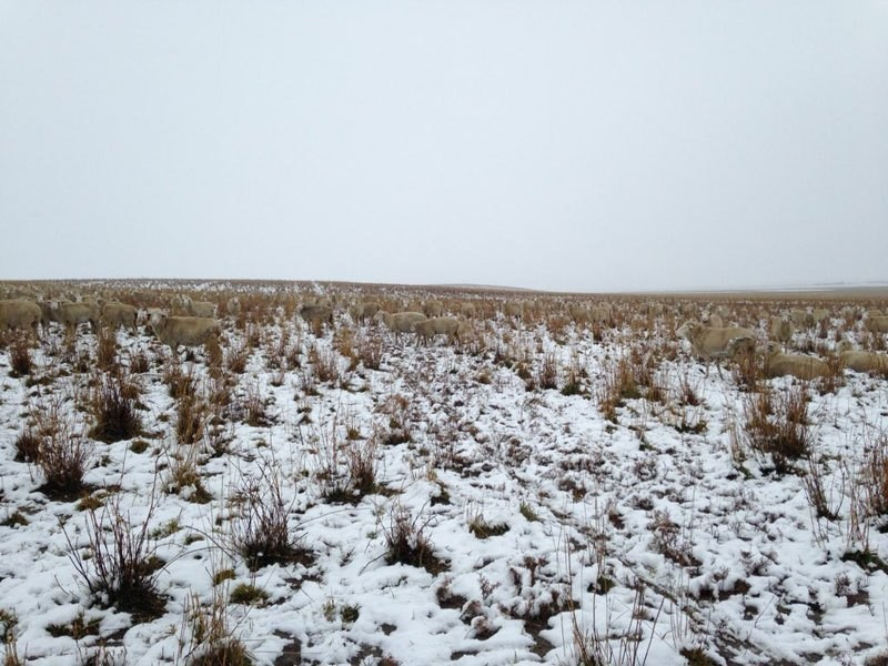 500-sheep-in-this-photo-liezel-kennedy-pilgrim-farms-3