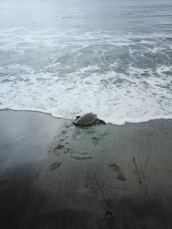 man-saves-sea-turtles-arron-culling-papua-new-guinea-8