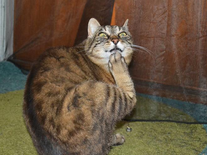 drama-cat4