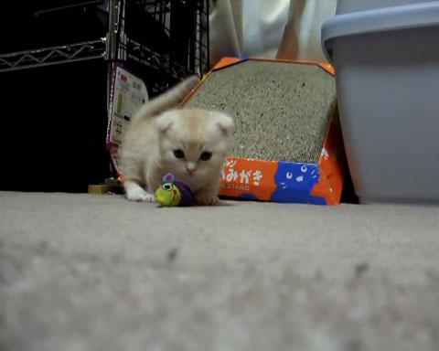 01心がとろけそうになる♪短足マンチカンの子ネコさんがちょこちょこ走り回る姿にうっとり!