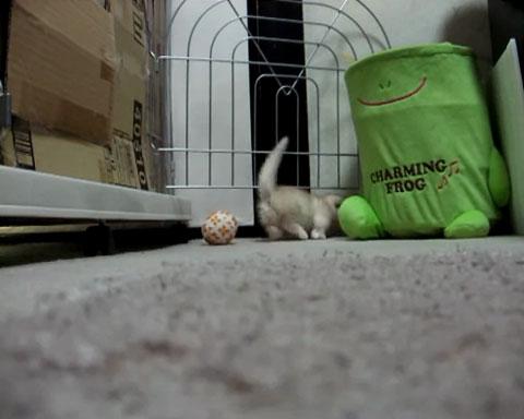02心がとろけそうになる♪短足マンチカンの子ネコさんがちょこちょこ走り回る姿にうっとり!