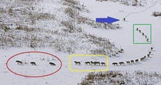 狼の群れは先頭集団がリーダーではない 人間の集団形成も学ぶべきところがあると思う